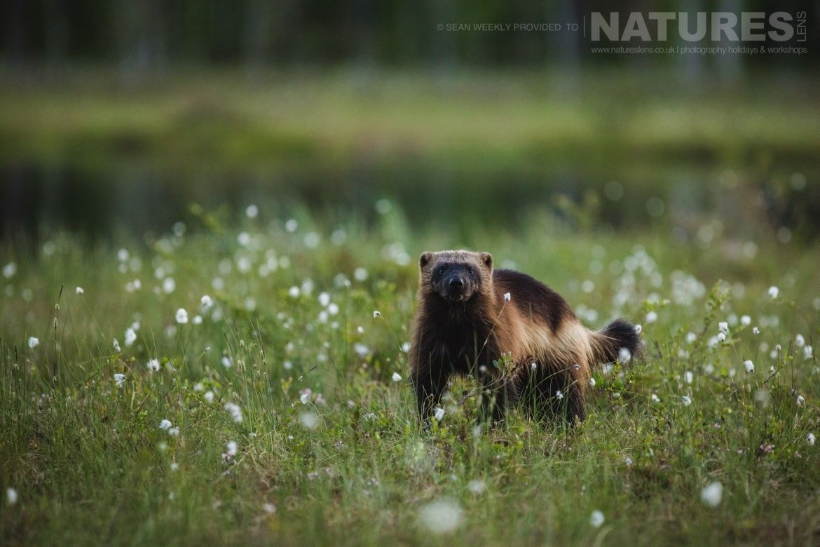 One Of The Wolverines That Became Regular Visitors To The Bear Photography Hides   Photographed During The Wild Brown Bears Of Finland Photography Holiday