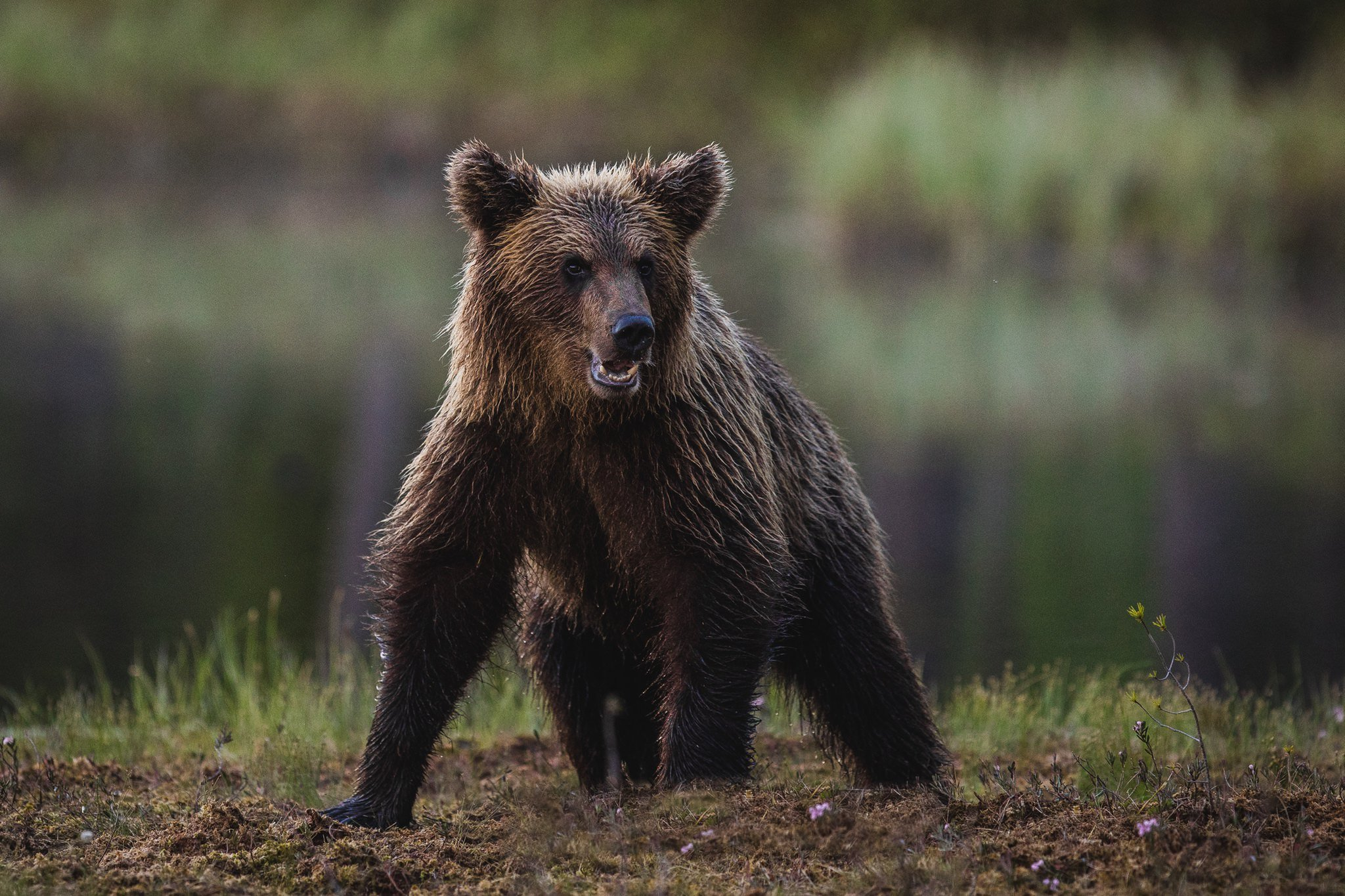 One Of The Younger Brown Bears Found In The Taiga Region Near The Russian Border   Photographed During The Wild Brown Bears Of Finland Photography Holiday