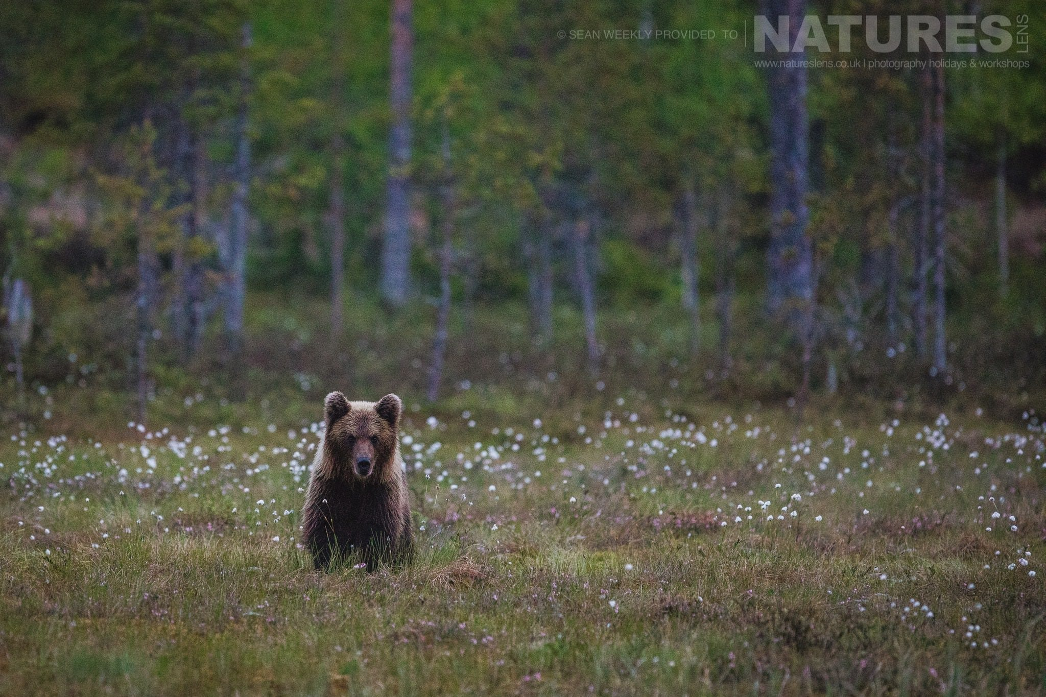 One Of The Younger Brown Bears Of Finland Sat Amongst The Cotton Grass   Photographed During The Wild Brown Bears Of Finland Photography Holiday