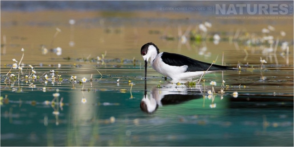 Photographed from the lake hide, one of the Black winged Stilts photographed during the Natureslens Birds of Spain Photography Holiday