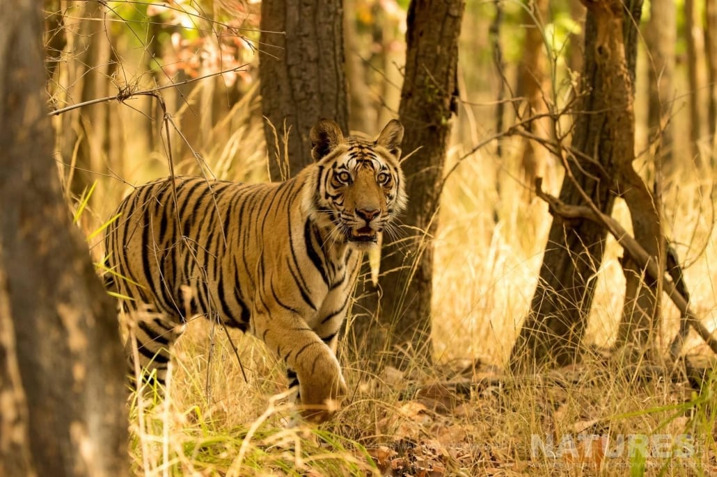 Striding out from the forest, one of the younger examples of Bengal Tiger found in Bandhavgarh National Park image captured during the NaturesLens Bengal Tigers of India Photography Holiday