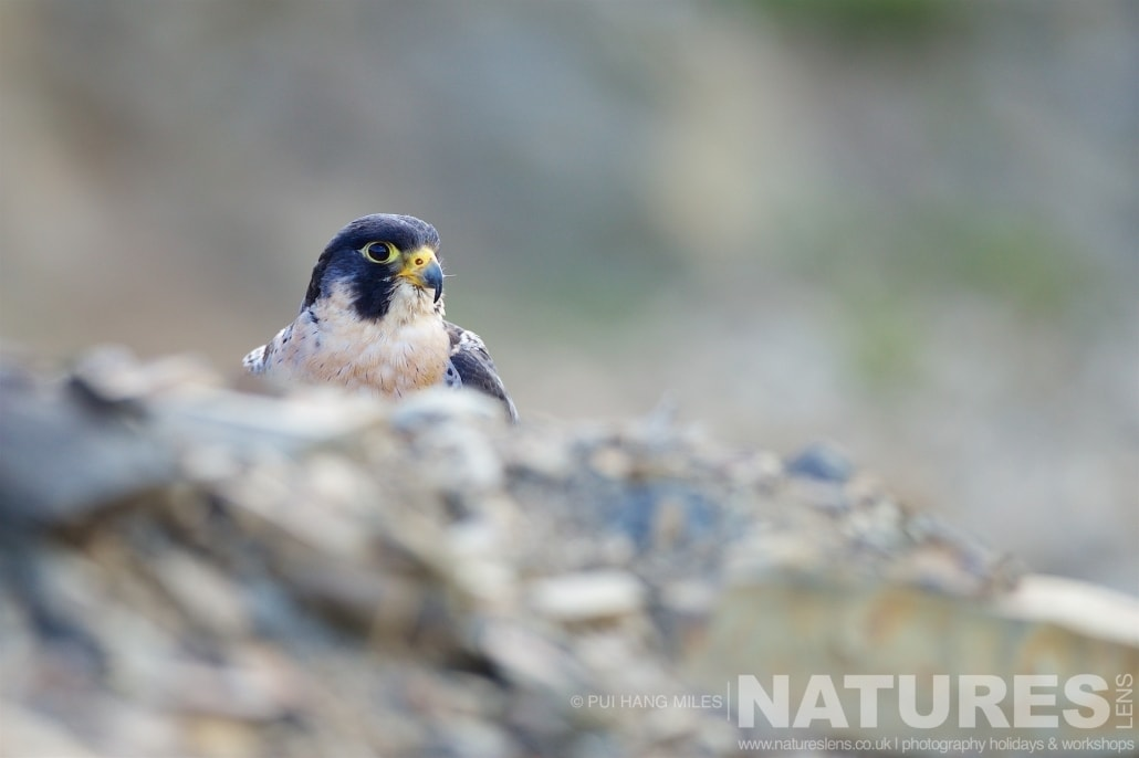 The Peregrine Falcon peeks over fallen stone in the quarry area typical of the kind of images that may be captured on the NaturesLens Bird of Prey Workshop