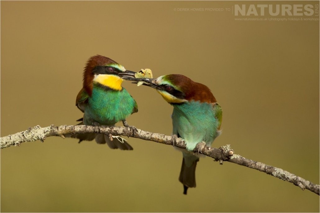 The classic food pass between a pair of European Bee eaters photographed during the Natureslens Birds of Spain Photography Holiday