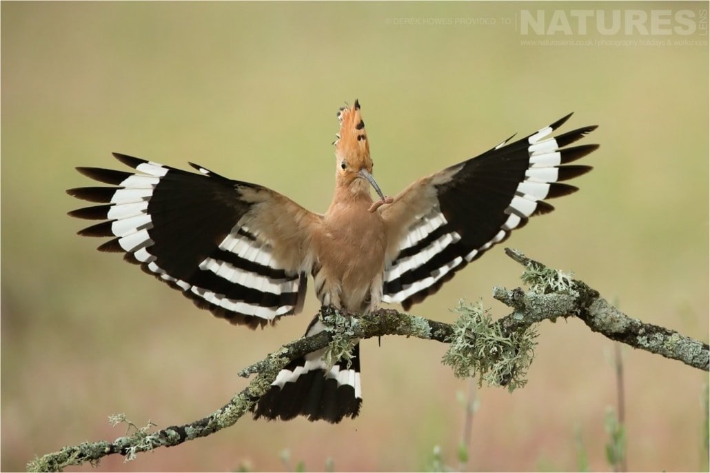 Wings spread, a hoopoe returns to the nest with a freshly caught grub photographed during the Natureslens Birds of Spain Photography Holiday