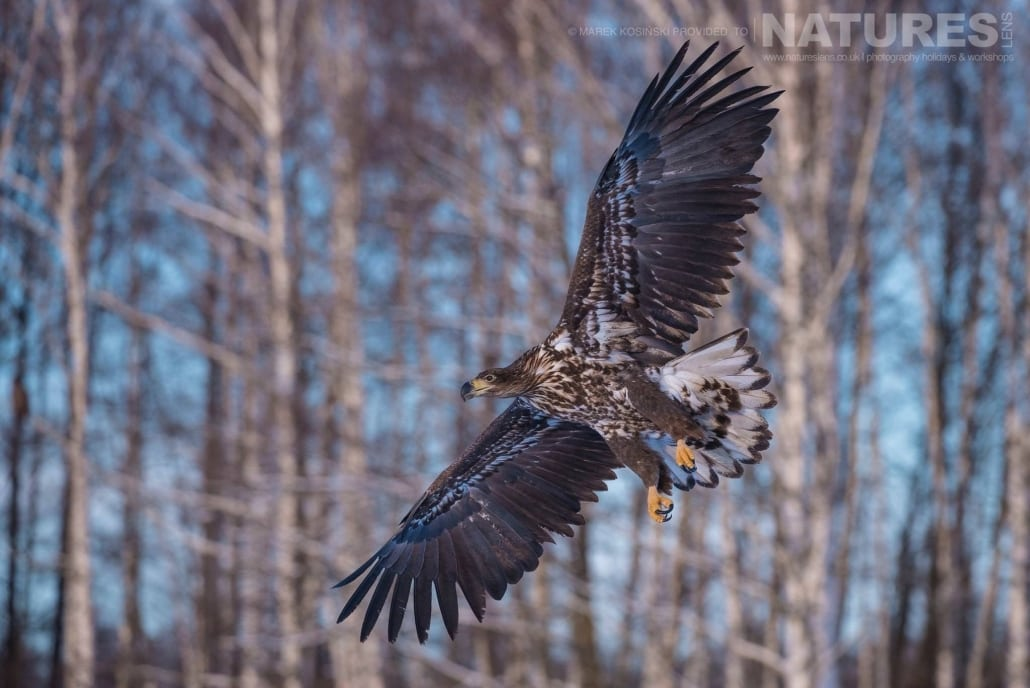 A juvenile White-Tailed Sea Eagle circles against the backdrop of the Białowieża Forest - typical of the type of image that may be captured on the NaturesLens Poland's Winter Wildlife Photography Holiday