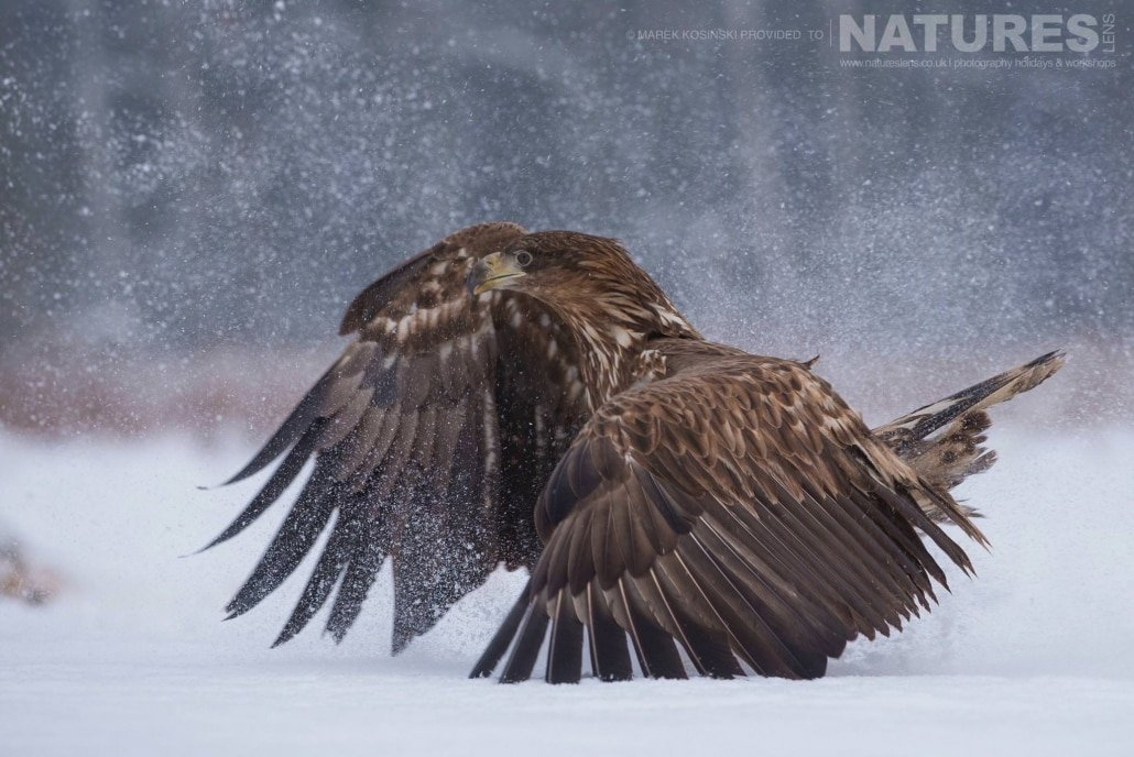 A mature White-Tailed Sea Eagle strides through the snowy environs of the Białowieża Forest - typical of the type of image that may be captured on the NaturesLens Poland's Winter Wildlife Photography Holiday
