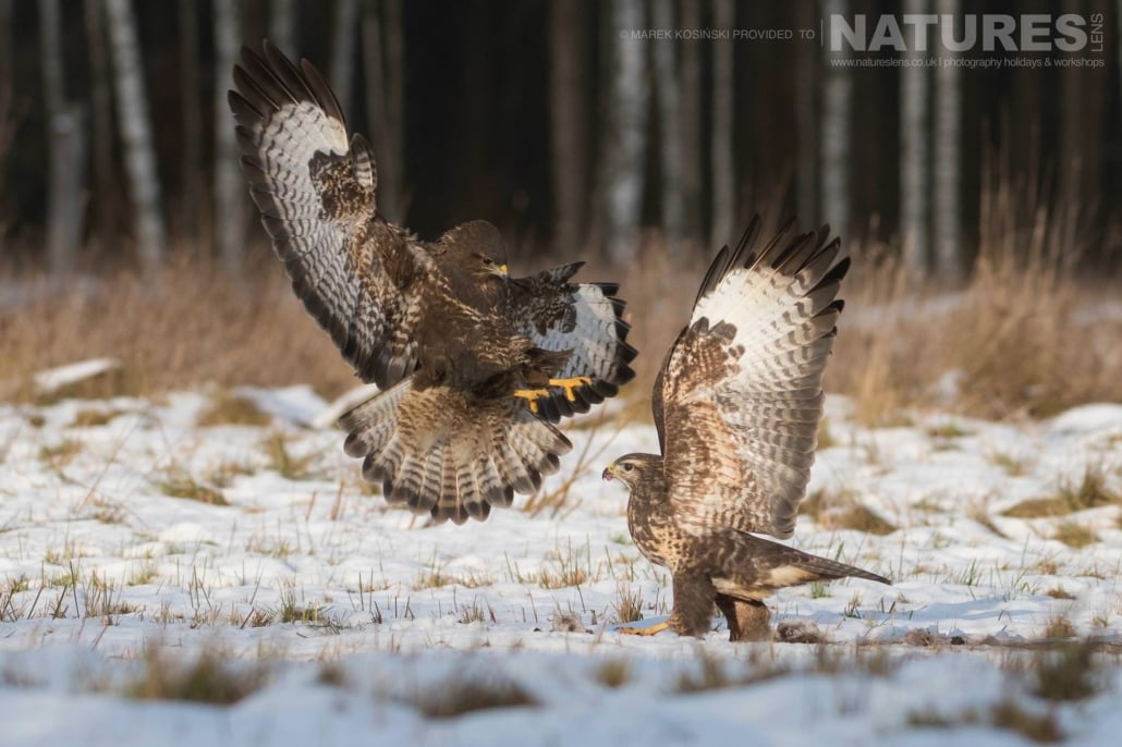 A pair of Common Buzzards squabbling over food photographed at a hide set within the environs of the Białowieża Forest - typical of the type of image that may be captured on the NaturesLens Poland's Winter Wildlife Photography Holiday