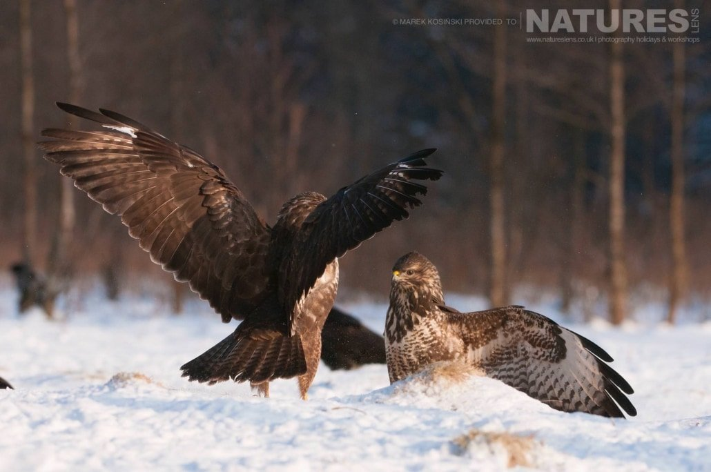 A pair of squabbling Common Buzzards photographed at a hide set within the environs of the Białowieża Forest - typical of the type of image that may be captured on the NaturesLens Poland's Winter Wildlife Photography Holiday