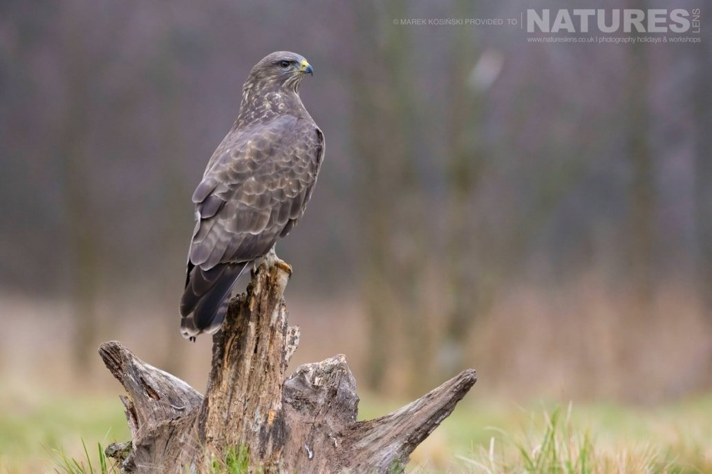 A perched Common Buzzard photographed at a hide set within the environs of the Białowieża Forest - typical of the type of image that may be captured on the NaturesLens Poland's Winter Wildlife Photography Holiday