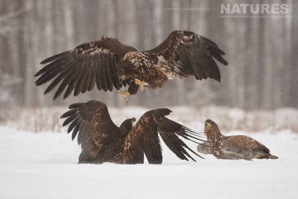 A trio of squabbling White-Tailed Sea Eagles photographed at a hide set within the environs of the Białowieża Forest - typical of the type of image that may be captured on the NaturesLens Poland's Winter Wildlife Photography Holiday