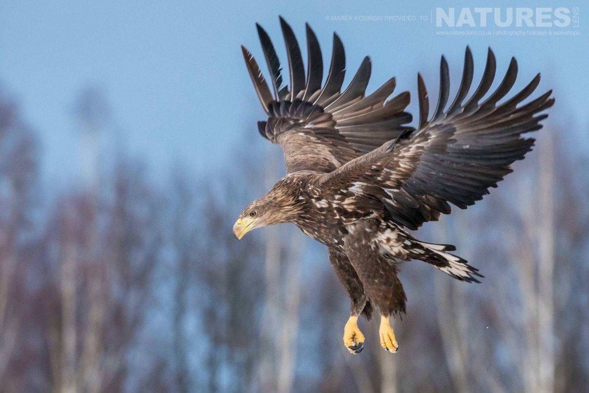 One of the White-Tailed Sea Eagles comes in to land against the backdrop of the Białowieża Forest - typical of the type of image that may be captured on the NaturesLens Poland's Winter Wildlife Photography Holiday