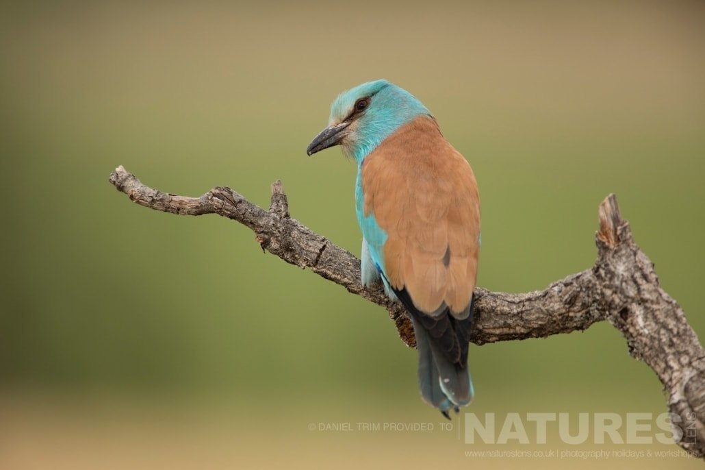 A European Roller showing it's rear plummage photographed during the 2017 Natureslens Spanish Bird Photography Holiday
