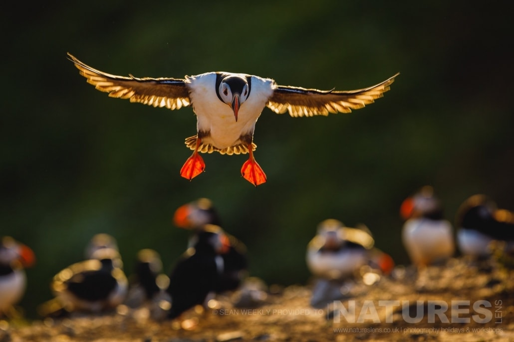 A Puffin of Skomer Island comes in for a backlit landing at The Wick photographed during the June 2017 Skomer Island Puffin Photography Holiday
