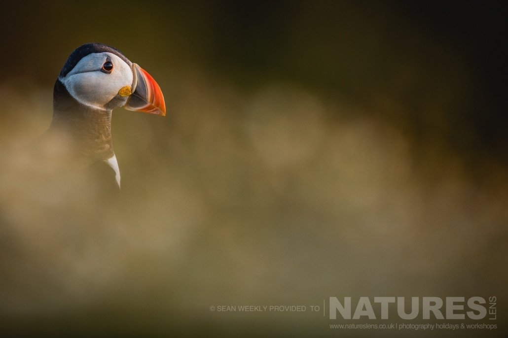 A classic portrait of one of the Puffins of Skomer amongst the diffused foreground and background of the sea campion photographed during the July 2017 Skomer Island Puffin Photography Holiday