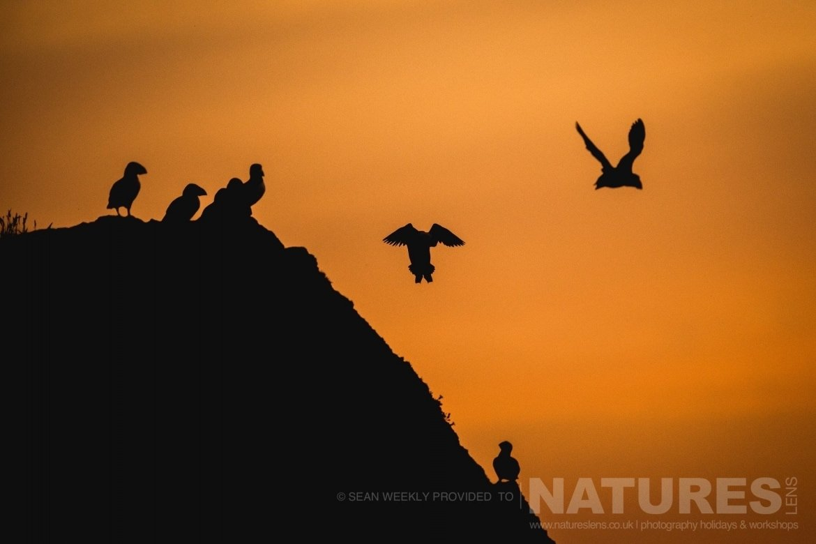 A collective of puffins of Skomer Island, also known as a circus of puffins, showing tht unique images that can be achieved with the right combination of golden light & Puffins jpg