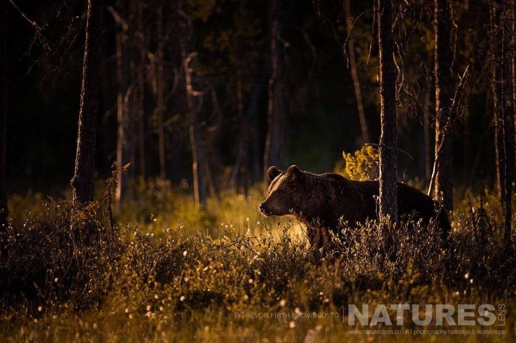A golden light lit image of a large adult wild brown bear as he emerges from the forest edge photographed during the NaturesLens photography holiday to photograph the Wild Brown Bear