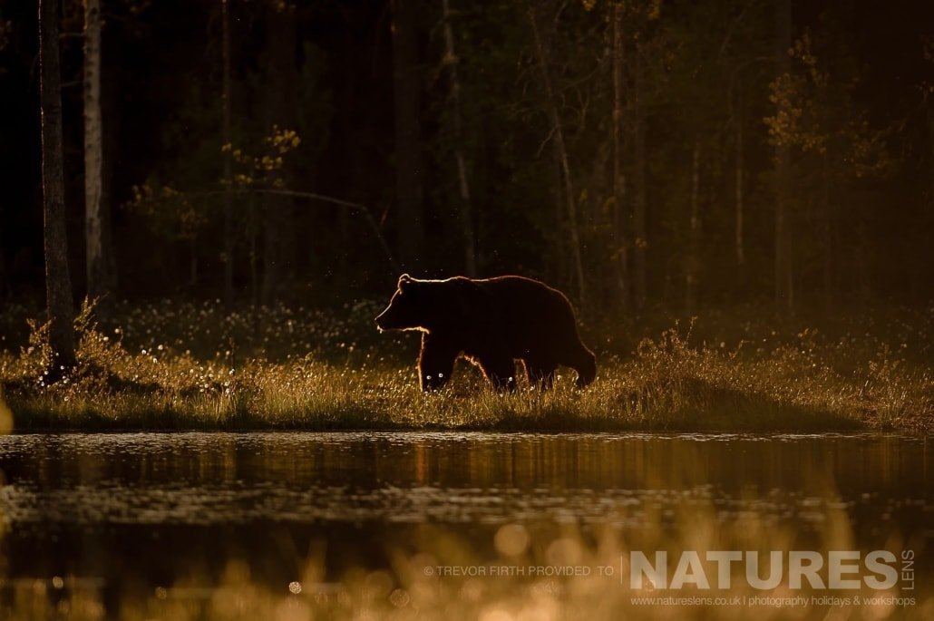 A golden light lit image of a large adult wild brown bear as he walks adjacent to the lake photographed during the NaturesLens photography holiday to photograph the Wild Brown Bear