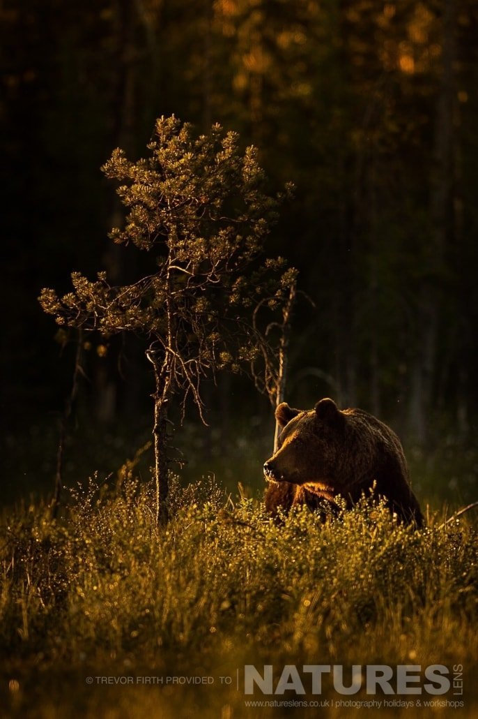 A golden light lit image of a large adult wild brown bear as he walks through the cotton grass photographed during the NaturesLens photography holiday to photograph the Wild Brown Bear