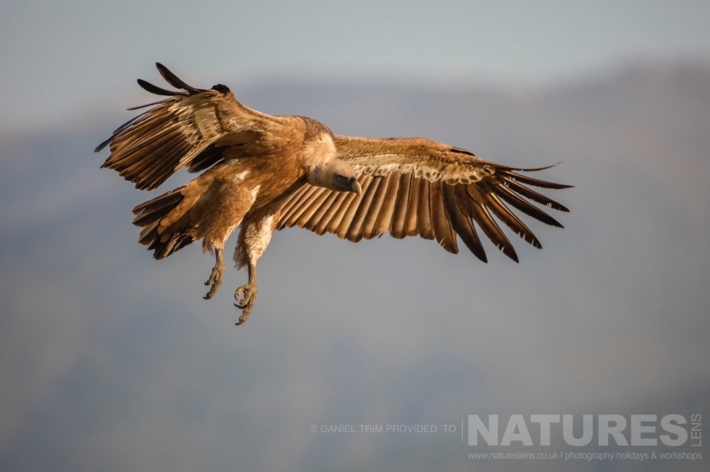 A griffon vulture comes into land at the carrion hide photographed during the 2017 Natureslens Spanish Bird Photography Holiday