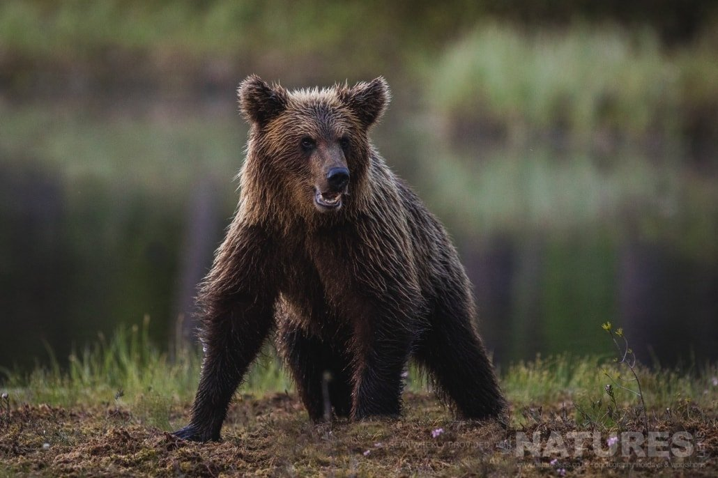 A juvenile male Brown Bear walks out of the depths of the Taiga Forest