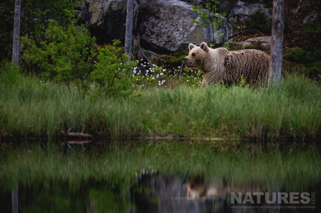 A large male Brown Bear walks alongside one of the lakes located in the Taiga Forest