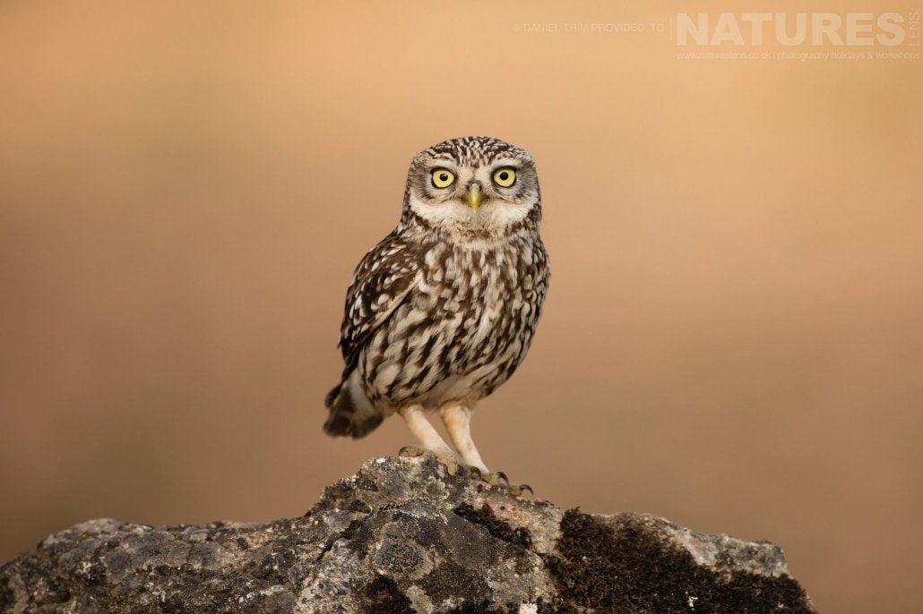 A little owl poses in the Spanish olive grove image captured during a NaturesLens Spanish Bird Photography Holiday