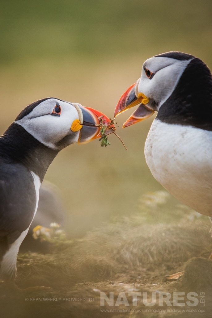 A pair of Puffins of Skomer pass nesting material between one and other photographed during the June 2017 Skomer Island Puffin Photography Holiday