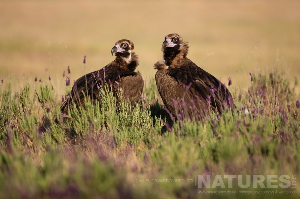A pair of black vultures amongst the heather that lines the area around the carrion hide photographed during the 2017 Natureslens Spanish Bird Photography Holiday