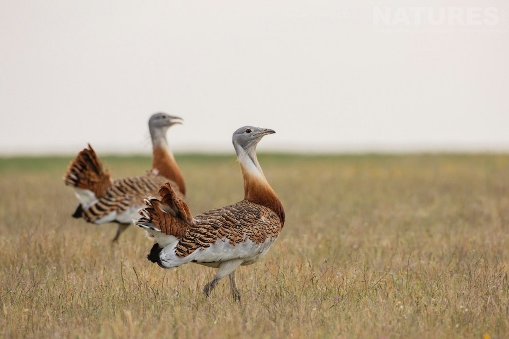 A pair of bustards stride, gathering their harem of females as they do so image captured during a NaturesLens Spanish Bird Photography Holiday