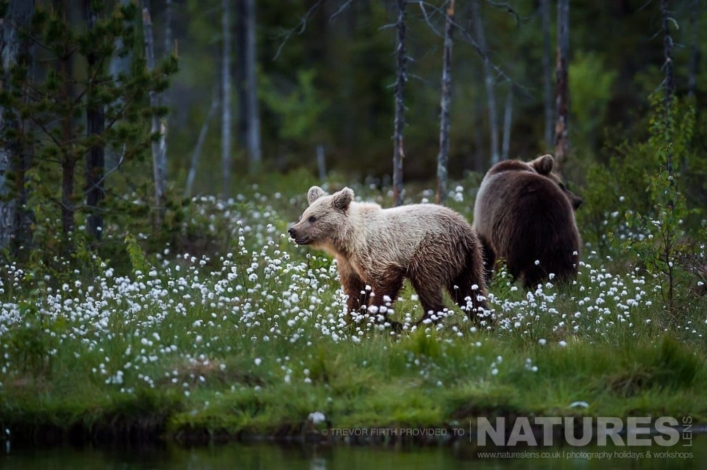 A pair of the Wild Brown Bears on the edges of the Taiga captured by NaturesLens guest Trevor during the Wild Brown Bears of Finland Photography Holiday