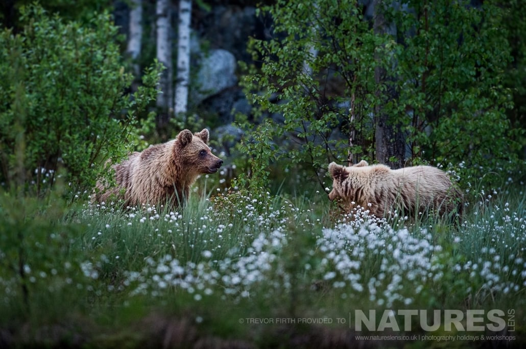 A pair of the Wild Brown Bears on the edges of the forest captured by NaturesLens guest Trevor during the Wild Brown Bears of Finland Photography Holiday