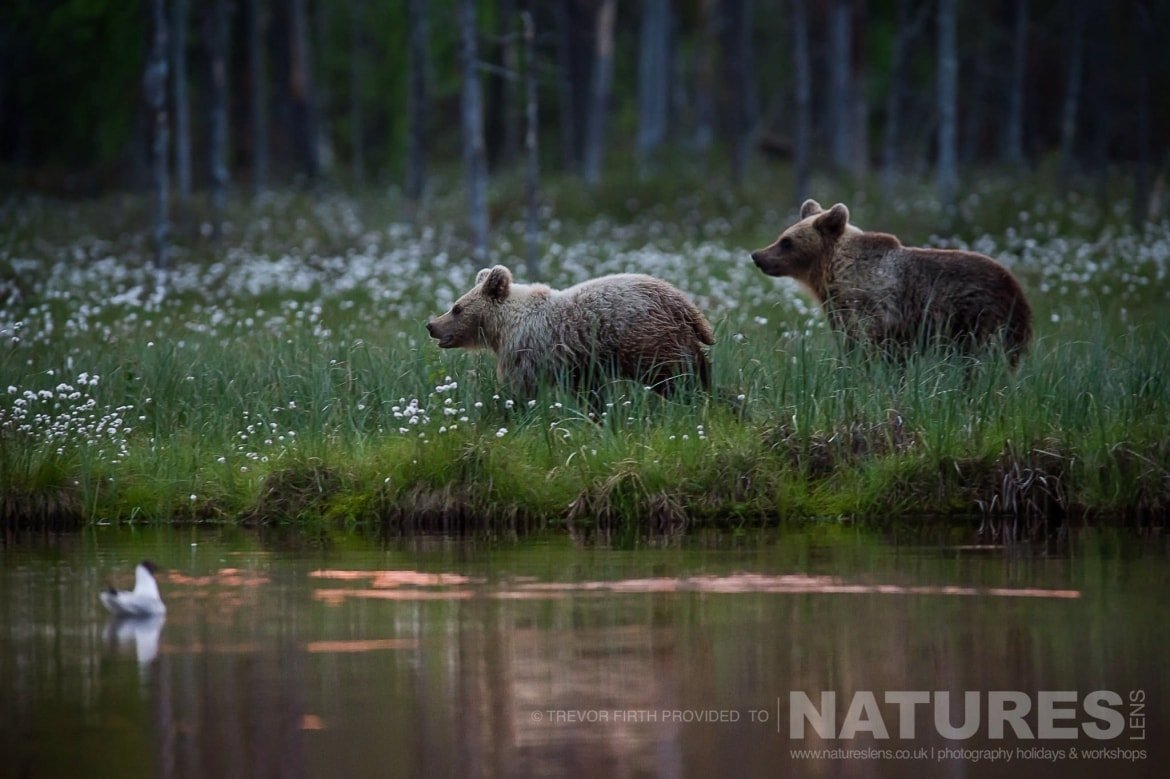 A pair of the Wild Brown Bears on the side of one of the lakes captured by NaturesLens guest Trevor during the Wild Brown Bears of Finland Photography Holiday