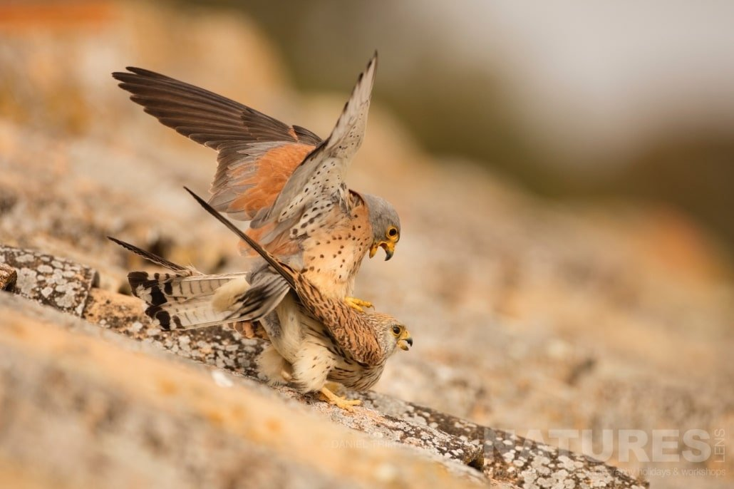 A pair of the lesser kestrels mating at their nesting site photographed during the 2017 Natureslens Spanish Bird Photography Holiday