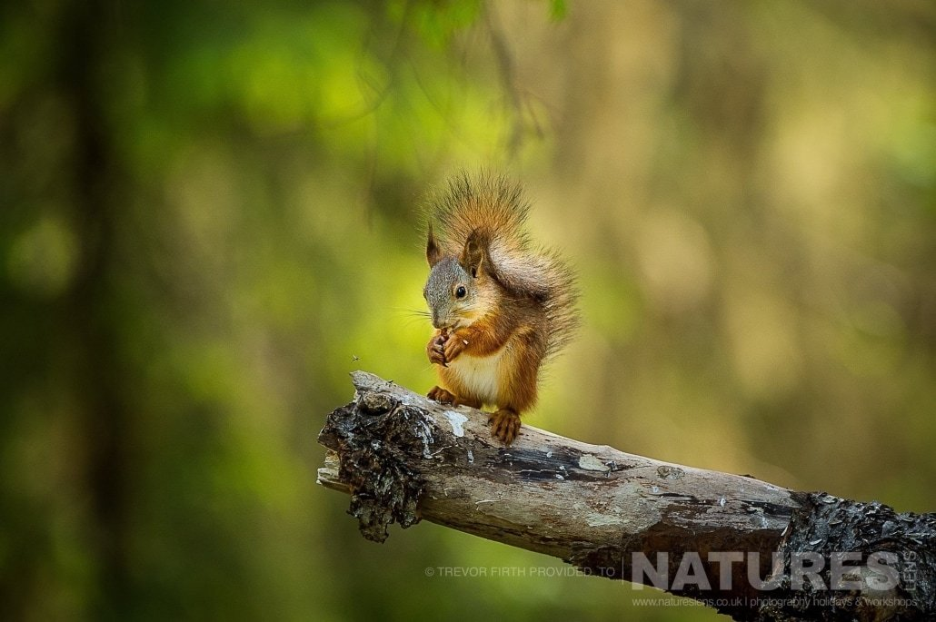 A perched red squirrel found in the Finnish forest photographed during the NaturesLens photography holiday to photograph the Wild Brown Bear