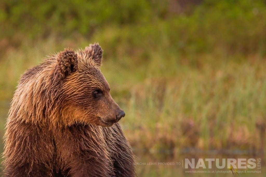 A portrait of one of the juvenile wild brown bears photographed during the NaturesLens Wild Brown Bears of Finland Photography Holidays