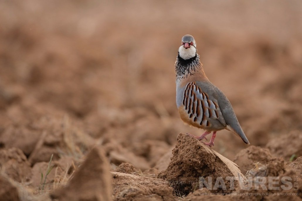 A red legged partridge walks through a ploughed field photographed during the 2017 Natureslens Spanish Bird Photography Holiday