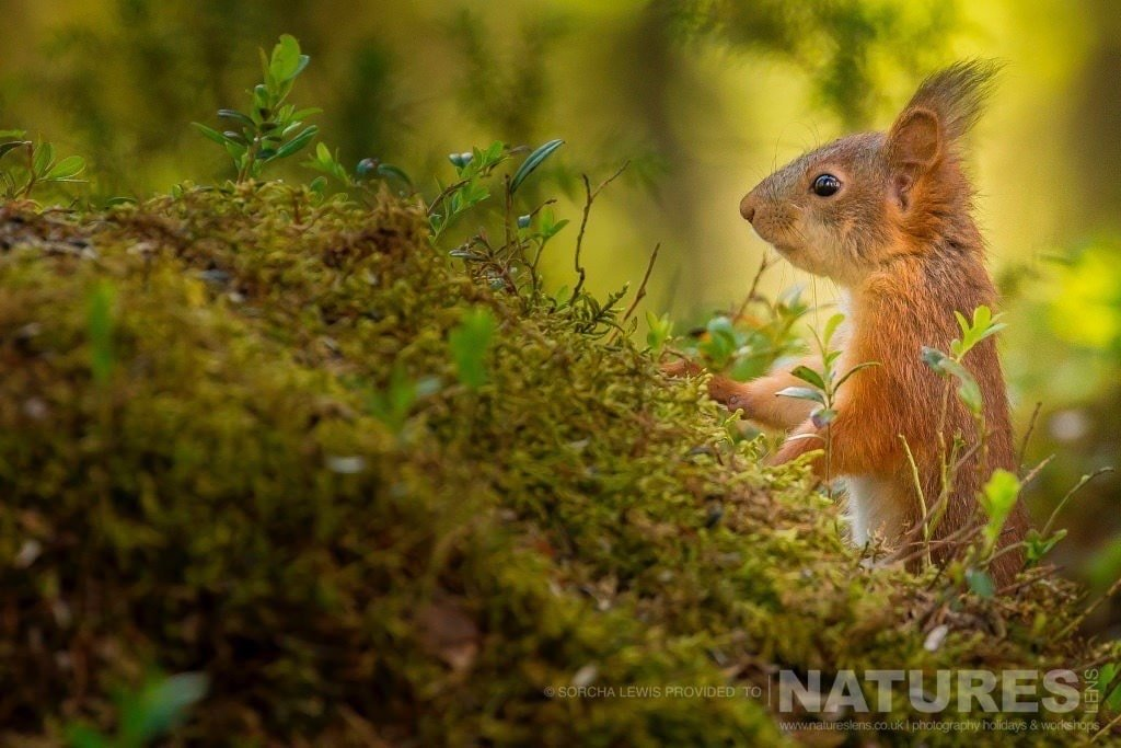 A red squirrel just some of the other wildlife found in the boreal forest in which the bears live photographed during the NaturesLens Wild Brown Bears of Finland Photography Holidays