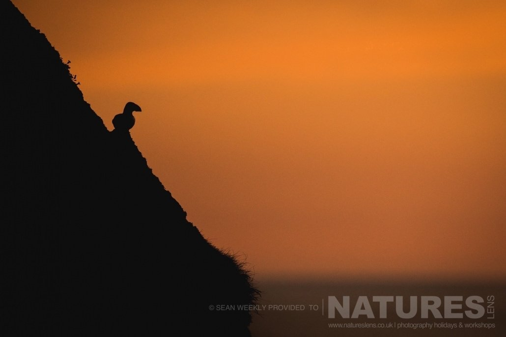 A solitary puffin of one of the steep escarpments of Skomer Island, showing the unique images that can be achieved with the right combination of golden light & Puffins jpg