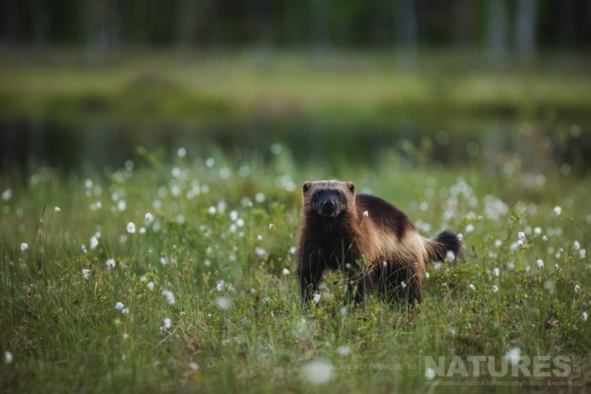A wolverine stood on the edge of the Taiga Forest amongst a field of cotton grass
