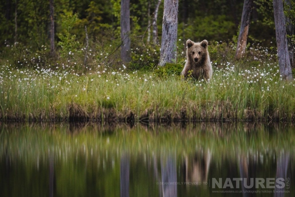 Adjacent to one of the lakes, a young Finnish Brown Bear and his relfection photographed during the NaturesLens Wild Brown Bears of Finland Photography Holiday