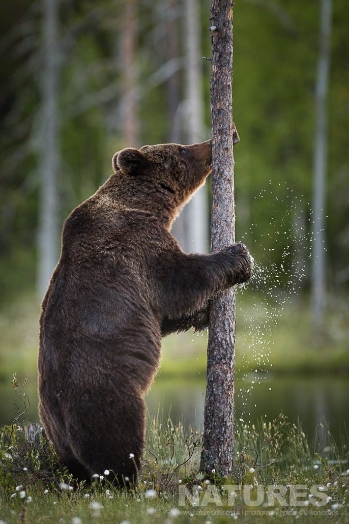 An image of a large adult wild brown bear as he shakes off water having been for a cool in the lake photographed during the NaturesLens photography holiday to photograph the Wild Brown Bear
