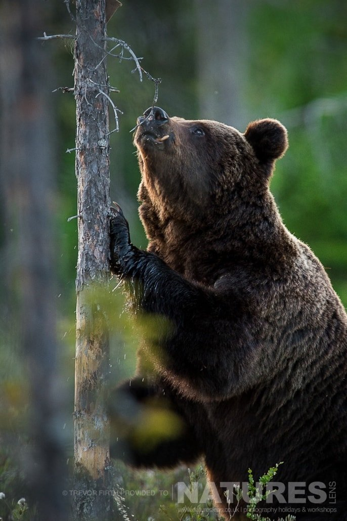 An image of a large adult wild brown bear as he sniffs one of the trees adjacent to the lake photographed during the NaturesLens photography holiday to photograph the Wild Brown Bear