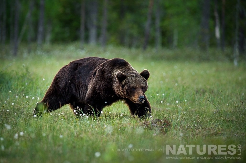 An image of a large adult wild brown bear as he strides through the meadow photographed during the NaturesLens photography holiday to photograph the Wild Brown Bear