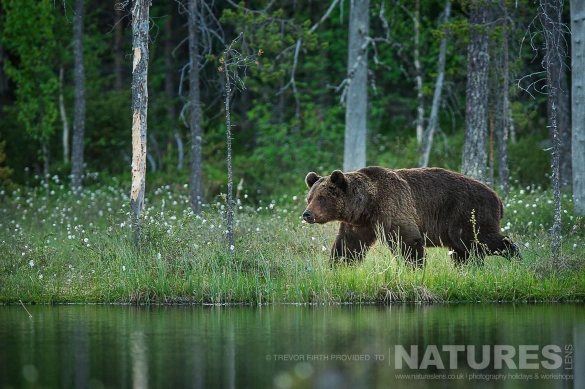 An image of a large adult wild brown bear as he walks adjacent to the lake photographed during the NaturesLens photography holiday to photograph the Wild Brown Bear