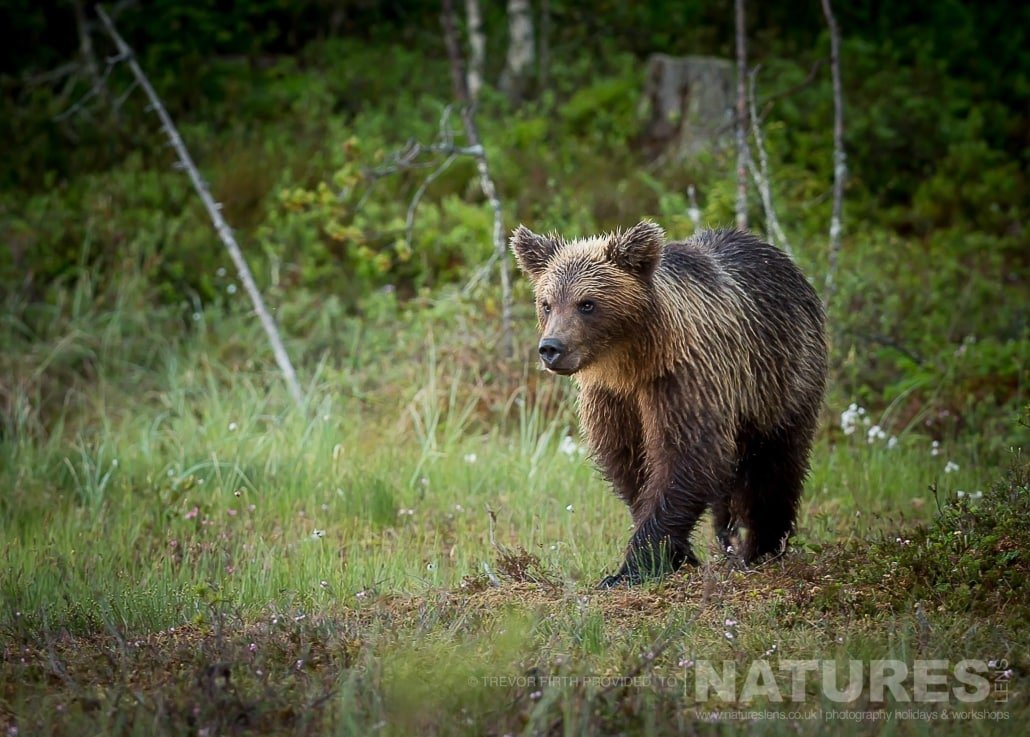 An image of one of the Wild Brown Bears captured by NaturesLens guest Trevor during the Wild Brown Bears of Finland Photography Holiday