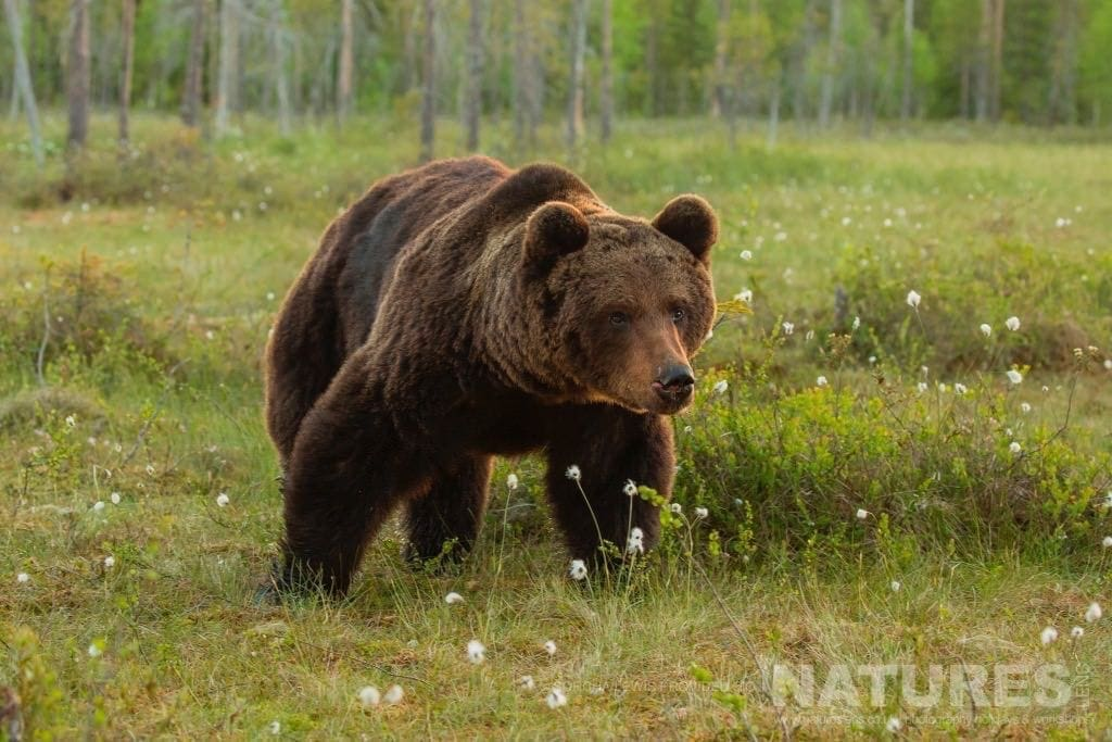Another of the large male wild brown bears up close to one of the hides photographed during the NaturesLens Wild Brown Bears of Finland Photography Holidays