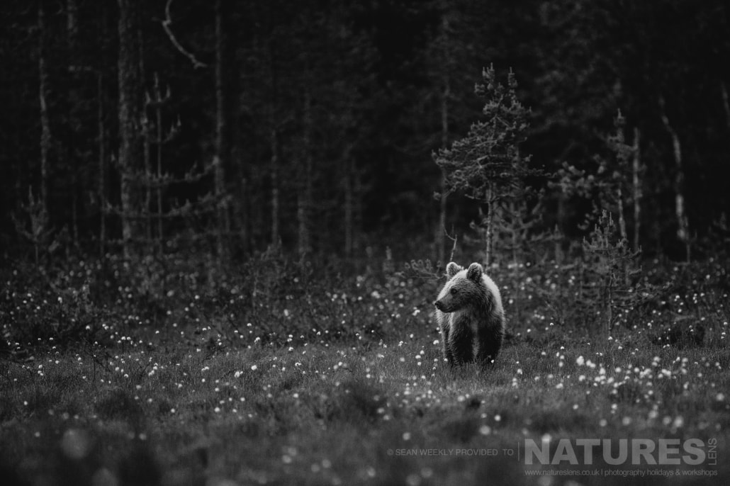Another of the young Finnish Bears approaches through the cotton grass captured during the NaturesLens Wild Brown Bears of Finland Photography Holiday