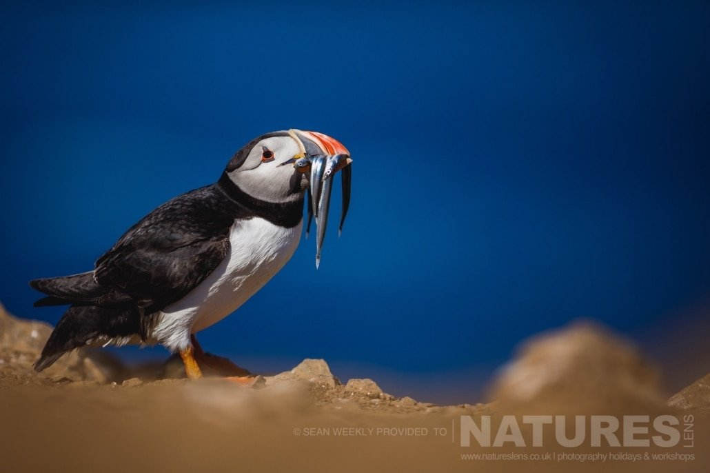At The Wick, one of the Puffins of Skomer with a great meal of sand eels photographed during the July 2017 Skomer Island Puffin Photography Holiday