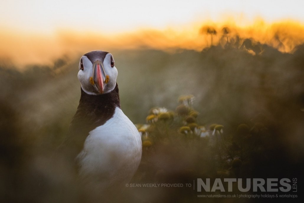 Bathed in a glorious light, one of the Puffins of Skomer poses for a portrait photographed during the June 2017 Skomer Island Puffin Photography Holiday