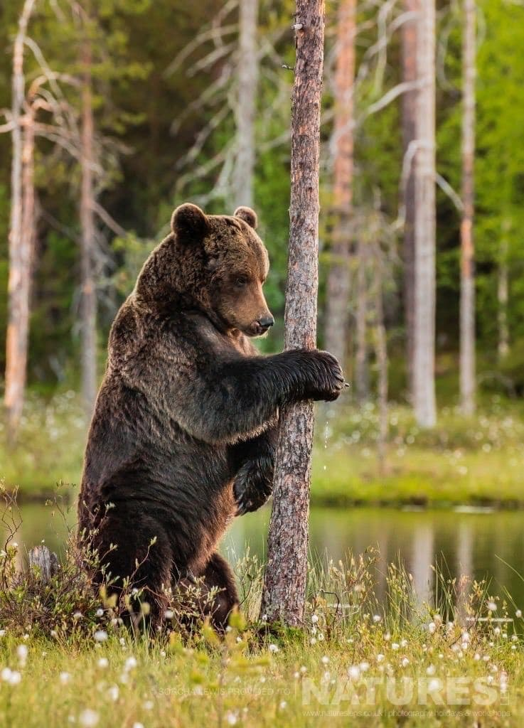 Beautiful in contemplation photographed during the NaturesLens Wild Brown Bears of Finland Photography Holidays